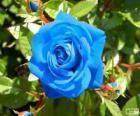 Blauwe roos