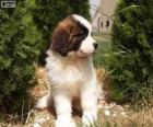 Sint-Bernard puppy