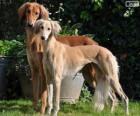 Saluki of Perzische windhond