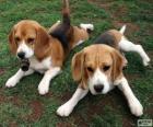 American Foxhound pups