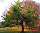De Japanse notenboom, Ginkgo biloba