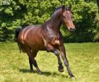 Westfaal of het Westfaals paard van oorsprong uit Duitsland
