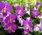 Lila orchideeën