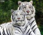 Witte Bengalen Tigers