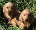 Basset Fauve de Bretagne pups