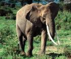 Een olifant met slagtanden