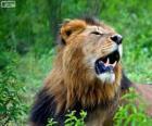 Een jonge leeuw