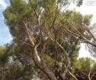 Mediterrane pine