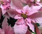 Kerstmis bloem, roze