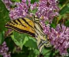 Papilio canadensis vlinder