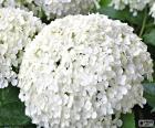 Witte hortensia bloemen