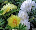 Peony witte en gele bloemen