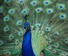 Blauwe pauw mannetje