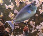 Blauwrugeenhoornvis