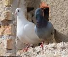 Twee duiven