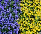Blauwe en gele bloemen