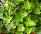 Gemeenschappelijke Ivy