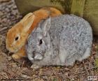 Mooi paar konijnen, een grijs en de andere bruin