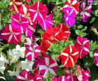 Petunia bloemen