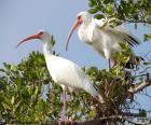 Witte ibis