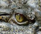 Krokodil oog