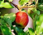 Apple in de boom