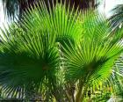 Washingtonia bladeren