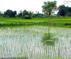 Gebied van rijst, Indonesië