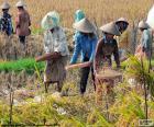 Oogsten van rijst, Indonesië