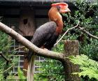 Gewone neushoornvogel