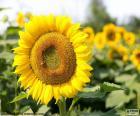 Bloem van de zonnebloem