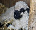 Een jonge en mooie zwarte neus schaap