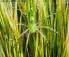 Groene lynx spin