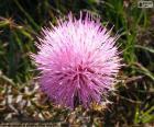 Mimosa borealis bloem