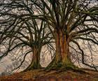 Twee oude bomen