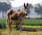 Een ezel