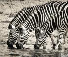 Drie Zebra's, drinken
