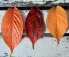 puzzel Drie bladeren van de herfst