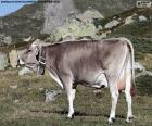 Koe in de hoge bergen