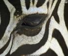 Zebra oog