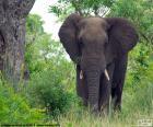 Grote olifant in het bos