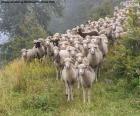 Schapen kudde