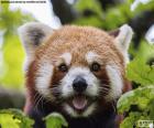Rode Panda gezicht
