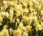 puzzel Gebied van Narcissus