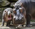 Nijlpaard naast zijn kalf