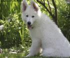 Witte Zwitserse Hond Puppy van de Herder