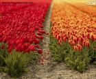 Het Gebied van de tulp