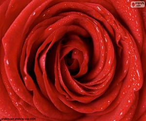puzzel Red Rose detail