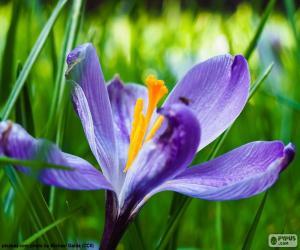 puzzel Saffraan bloem