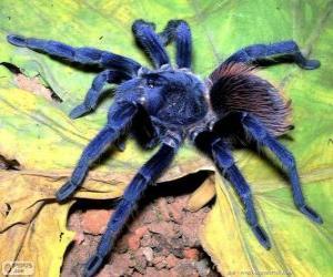 puzzel Sazima de tarantula